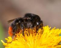 Bumblebee on dandelion Royalty Free Stock Image