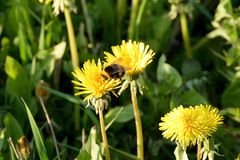 A bumblebee on a dandelion on a meadow Royalty Free Stock Image