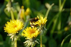 A bumblebee on a dandelion on a meadow Stock Images