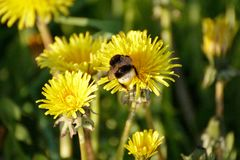 A bumblebee on a dandelion on a meadow Stock Photo