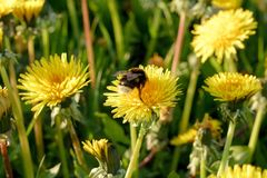A bumblebee on a dandelion on a meadow Royalty Free Stock Photo