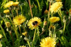 A bumblebee on a dandelion on a meadow Royalty Free Stock Photos