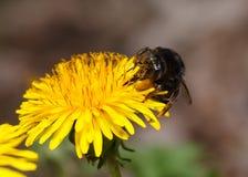 Bumblebee on dandelion portrait. Macro en face of bumble bee eating nectar on dandelion flower on meadow Royalty Free Stock Photo