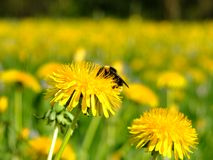 Bumblebee on a dandelion Stock Photography