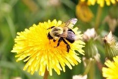 Bumblebee in Dandelions. A bumblebee flying from dandelion, to dandelion Stock Photo