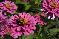 Bumblebee in Deep Pink Zinnia. This bumblebee is pollinating a dark pink zinnia and gathering pollen and nectar royalty free stock photo