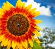 Bumblebee delighting in bloom Royalty Free Stock Photos