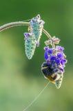 Bumblebee in dew drops Stock Image