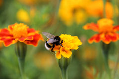 Bumblebee drink nectar on tagetes flower. Bee bumblebee drink nectar on tagetes marigolds flowers Royalty Free Stock Photography