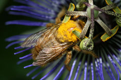 Bumblebee drinking nectar Royalty Free Stock Photo