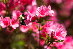 Bumblebee Drinking Nectar from Coral Bells Azaleas. The bumblebee enjoys a drink from these beautiful Kurume Hybrid Azaleas Royalty Free Stock Photo