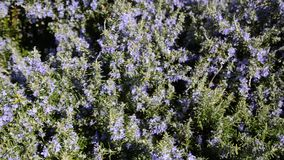 Bumblebee drinking nectar from rosemary flowers. Rosemary plant in flowers blooming in spring season. Rosemary herb with purple an. D blue flowers, close-up stock video