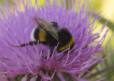 Bumblebee drinking nectar sitting on a flower Stock Photography