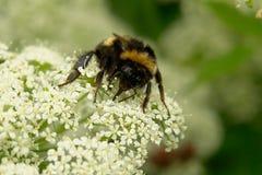 bumblebee duże Fotografia Stock