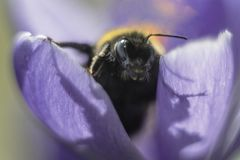 Bumblebee dumbledore συνεδρίαση στο λουλούδι Στοκ φωτογραφία με δικαίωμα ελεύθερης χρήσης