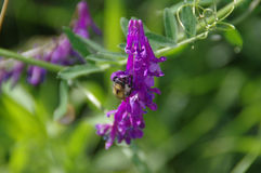Bumblebee eat nectar from flower. Bumblebee eat nectar from purple flower. Macro of meadow life Stock Photo