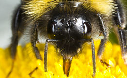 Bumblebee eating Royalty Free Stock Photos