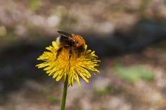 Bumblebee eats pollen on a flower . Stock Photos