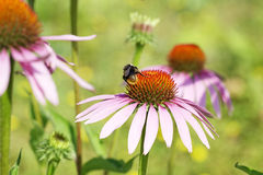 Bumblebee on echinacea. Bumblebee on flowers echinacea purple, also known as a cone-flower, in a botanical garden Royalty Free Stock Photo