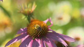 Bumblebee on a Echinacea flower stock video footage