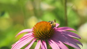 Bumblebee on a Echinacea flower stock video