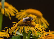 Bumblebee is on a elecampane flower Royalty Free Stock Image