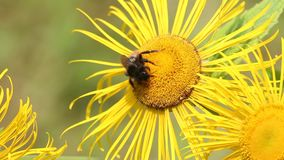 Bumblebee is on a elecampane flower stock video