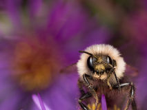 Bumblebee extracts pollen from purple aster flower Stock Images