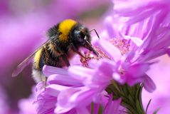 Bumblebee feeding flower Stock Images