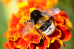 Bumblebee Royalty Free Stock Images