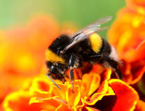 Bumblebee. Feeding on the flower of French marigold Stock Image