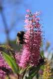 Bumblebee feeding on a Hebe Flower. Close up image of bumble bees feeding on a New Zealand Hebe flower Stock Photos