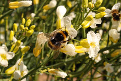 Bumblebee feeding on nectar royalty free stock photography