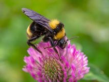 Bumblebee feeding from a red clover flower royalty free stock photo