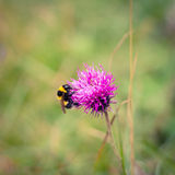 Bumblebee feeding on a thistle Royalty Free Stock Photography