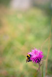 Bumblebee feeding on a thistle Royalty Free Stock Photos