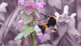 Bumblebee. Feeds on meadow sage Stock Images