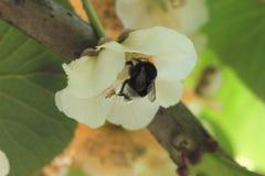 Bumblebee on female kiwifruit flower. Large earth bumblebee Bombus terrestris in gold kiwifruit Actinidia chinensis. Pollen on legs Royalty Free Stock Photos