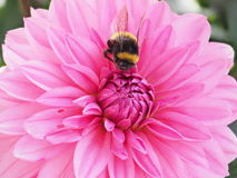 Bumblebee fetching nectar from a Dahlia flower Royalty Free Stock Image