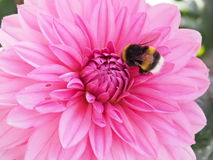 Bumblebee fetching nectar from a Dahlia flower Royalty Free Stock Images