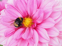 Bumblebee fetching nectar from a Dahlia flower Stock Photography