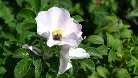 A bumblebee flies away from white wild rose bud on background of park or garden. HD footage video. 1080 stock footage