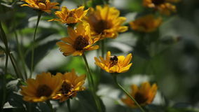 Bumblebee flies from flower to flower stock footage