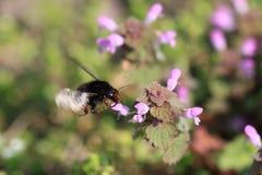 Bumblebee flies Royalty Free Stock Photos