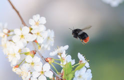 Bumblebee flies to a blossoming branch of cherry Stock Image