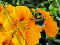 Bumblebee flies up to the yellow flower macro royalty free stock images