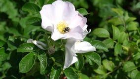 Bumblebee flies on white wild rose bud in park or garden. HD slowmo footage video. 1080 stock footage