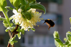 Bumblebee flight Royalty Free Stock Photography