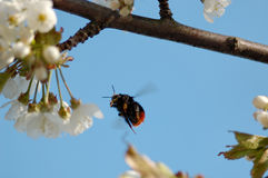 Bumblebee in Flight. A bumblebee, aiming for a cherry blossom, flozen in mid-flight Stock Photos