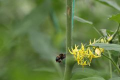 Bumblebee in flight, approaching a tomato flower. Bombus terrestris, the large earth bumblebee, about to forage for pollen on a tomato flower Solanum stock photography